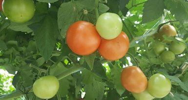 201609pomidoriai.jpg
